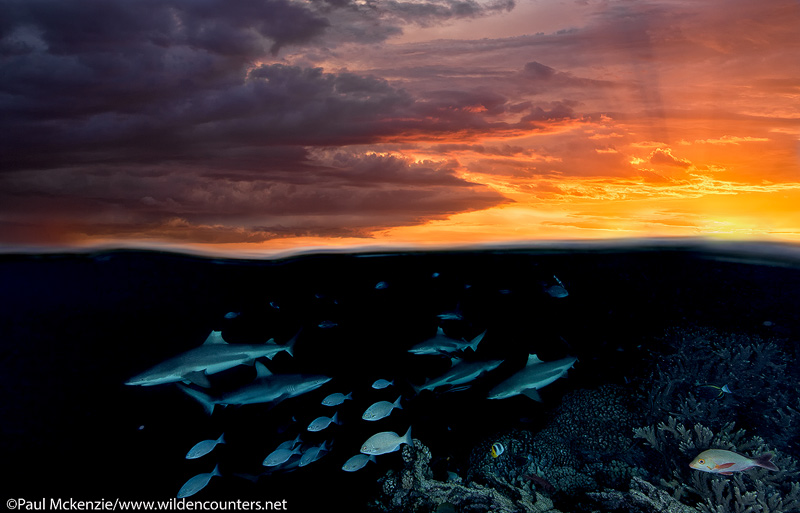 37 Overunder-view-of-Grey-Reef-Sharks-at-sunset,-Fakarava,-Tahiti-Web-Prepared