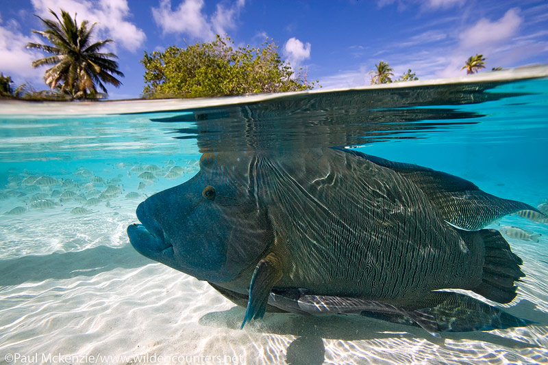 39 Overunder-view-of-Napoleon-Wrasse-with-Slender-Suckerfish-swimming-in-shallow-water-logoon,-Fakarava,-Tahiti-Web-Prepared