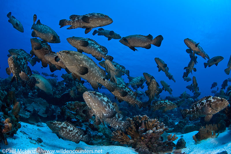 44 Pre-spawning-aggregation-of-Camouflage-Groupers-#2,-Fakarava,-Tahiti-Web-Prepared