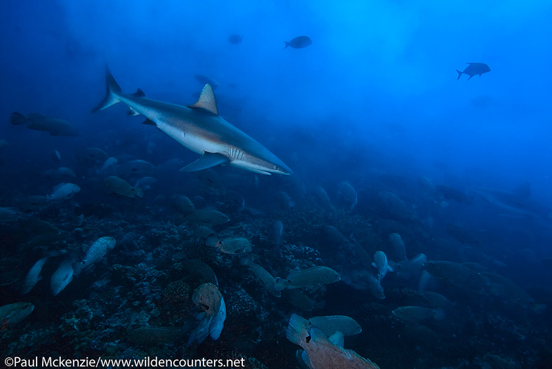 6 Grey-Reef Shark swimming among Camouflage Groupers in water thick with Grouper spawn, Fakarava, Tahiti-Web-Prepared