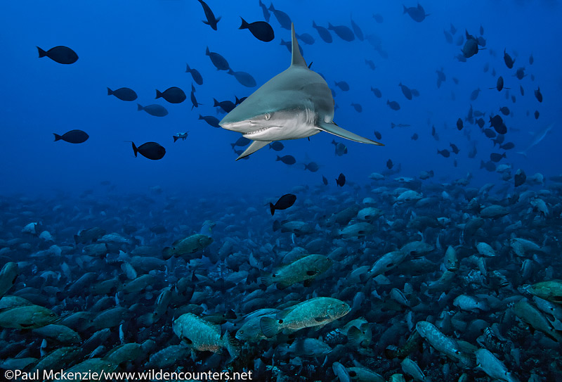 8 Grey-Reef Shark above huge aggregation of spawning Camouflage Groupers, Fakarava, Tahiti